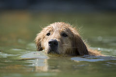 Dogs swims in lake Royalty Free Stock Image
