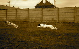 dogs tävlings- royaltyfri foto