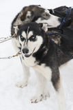 Dogs in tackles. A photo of two dogs in tackles. Those dogs are used to pull sledge. The dog in the back is blurry Royalty Free Stock Photography
