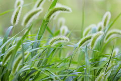 Dogs tail grass Stock Images