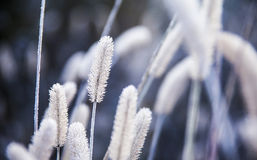 Dogs tail grass with frost Royalty Free Stock Photography