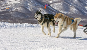 Dogs team running in the snow on Kamchatka Royalty Free Stock Image