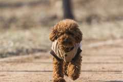 Dogs - Teddy dog Stock Photography