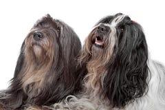 dogs terrier tibetana två Arkivbilder