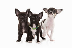 Dogs. Three Chihuahua puppies isolated on white Stock Image