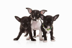 Dogs. Three Chihuahua puppies isolated on white Stock Images