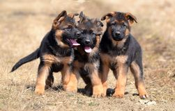 Dogs 00011 stock image