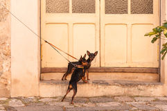 Dogs tied Royalty Free Stock Photos