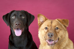 Dogs together Stock Photography