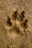 Dogs track on mud Royalty Free Stock Photography