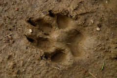Dogs Track On Mud Royalty Free Stock Photos