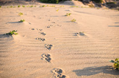 Dogs track in sand Stock Images