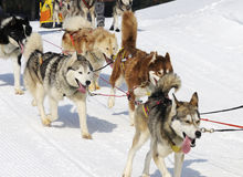 Dogs of traineau. In the snow Stock Images