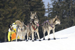 Dogs of traineau. In the snow Royalty Free Stock Photos