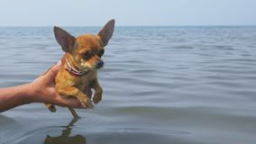 Dogs are trained before swimming. This is very funny. Exercise passes over the water. The dog toy terrier flips its paws funny stock footage
