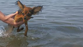 Dogs are trained before swimming. This is very funny. Exercise passes over the water. The dog toy terrier flips its paws funny. After the dog sails to the stock video