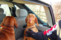 Dogs transport Royalty Free Stock Photos