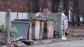 Dogs on the trash. Dogs who are looking for food in trash on the street stock video