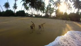 Dogs on a tropical beach.  stock footage