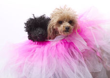 Dogs In A Tutu Stock Photo