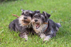 Dogs. Two black and silver miniature schnauzer dogs playing one stick together on the natural grass background Stock Photography