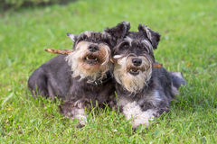 Dogs. Two black and silver miniature schnauzer dogs playing one stick together on the natural grass background Royalty Free Stock Photography