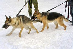Dogs. Two german shephard dogs walking near the master's legs on a dog training course in a winter day on a snow Stock Image