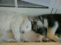 Dogs. Two puppies sleeping head to head Royalty Free Stock Image