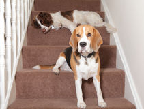 Dogs. Two dogs sitting on home stairs Royalty Free Stock Image