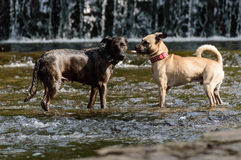 Dogs. Two dogs standing face to face in the river Stock Photos