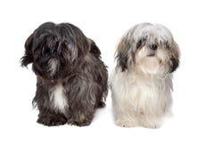 dogs tzu för shih två arkivbild