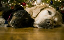 Dogs under Christmas Tree Royalty Free Stock Photography