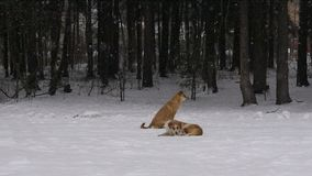 Dogs under snow. Two dogs in a forest stock footage