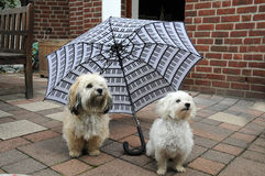 Dogs under umbrella. Two little dogs under an umbrella Royalty Free Stock Image