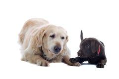 dogs vänskapsmatch två Royaltyfri Bild