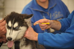 Dogs vaccination Royalty Free Stock Image