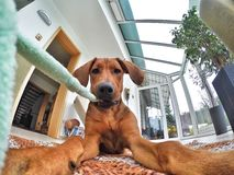 Dogs view while playing with a toy. Adorable little Rhodesian Ridgeback puppy is playing with ia toy. The dog is holding the toy in its mouth and is looking Stock Photo