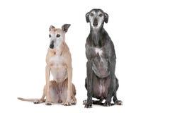 dogs vinthund två Royaltyfria Bilder