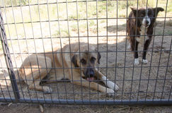 Dogs waiting to come play. Large Tan Anatolian Shepherd  guard dog and Black and white Border Collie waiting for gate to open so they can come play, or go chase Royalty Free Stock Images