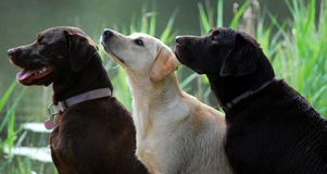 Free Dogs Waiting To Work Royalty Free Stock Image - 5409106