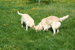 Dogs on walk. Dogs, golden retrievers on a green lawn Stock Photo