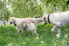 Dogs on walk. Dogs, golden retrievers on a green lawn Royalty Free Stock Photo