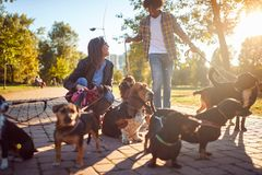 Dogs on walk with happy professional dog walker royalty free stock photo