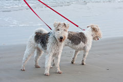 Dogs Walking On The Beach Stock Photo