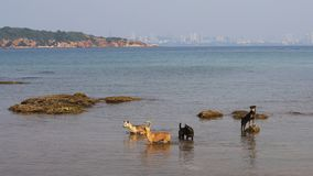 Dogs walking on the beach of Ko Lan island in the Gulf of Thailand near Pattaya, Thailand stock photography
