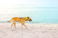 Dogs walking on the beach in the morning. royalty free stock photos