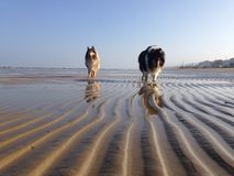 Dogs walking at the beach Stock Photography