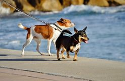 Dogs walking by the beach Royalty Free Stock Photo