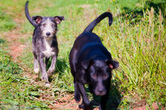 Dogs walking in countryside Stock Photos