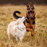 Dogs walking on the field Royalty Free Stock Image